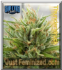 Sin City Thunderstruck Feminized 7 Cannabis Seeds